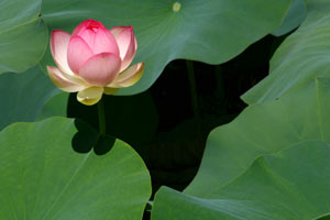 Waterlilly floating on pond