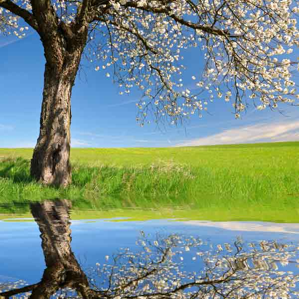 Peaceful Tree in blossom reflected in a pool of water