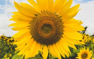Sunflower representing COVID-19 resource Inspiration